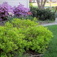 Gold spihrea(sp) azaleas