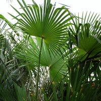 Trachycarpus NOVA... nice palm... but not sure it could be moved at this size