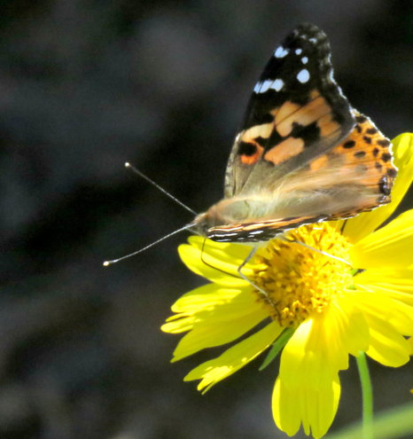 False Sunflower and Painted Lady ..