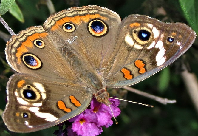 Common Buckeye on Buddleia davidii