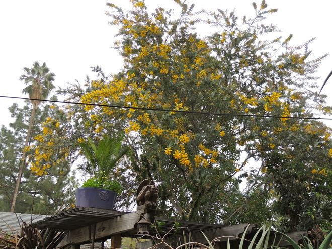 Flowering Acacia baileyana