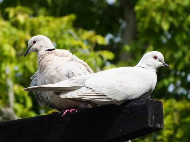 Barbary Doves