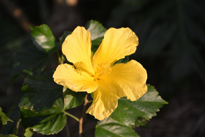 Hibiscus with yellow flower.
