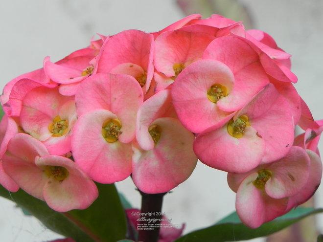 Euphorbia millii forma variegata blooms.