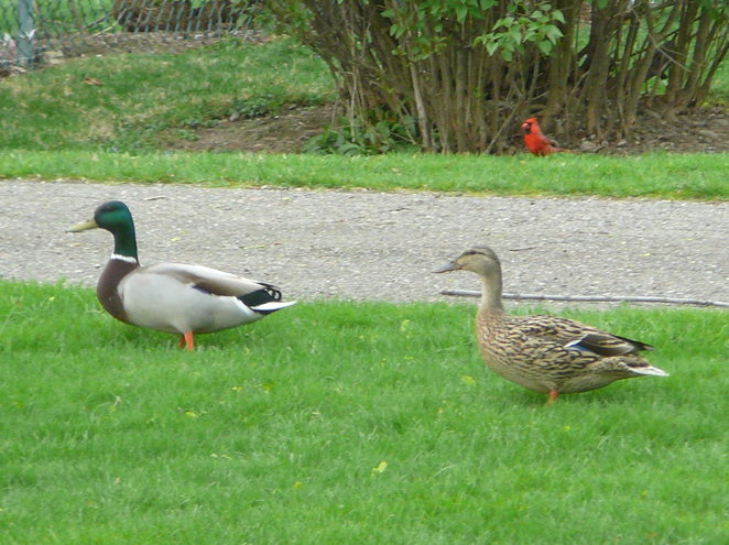 This Mallard couple and  Mr. Cardinal were regulars in our urban back yard in 2012. There's a park with a stream nearby (and within walking distance of the Pro Football Hall of Fame, too!), so we see ducks and geese in our yards on a regular basis.