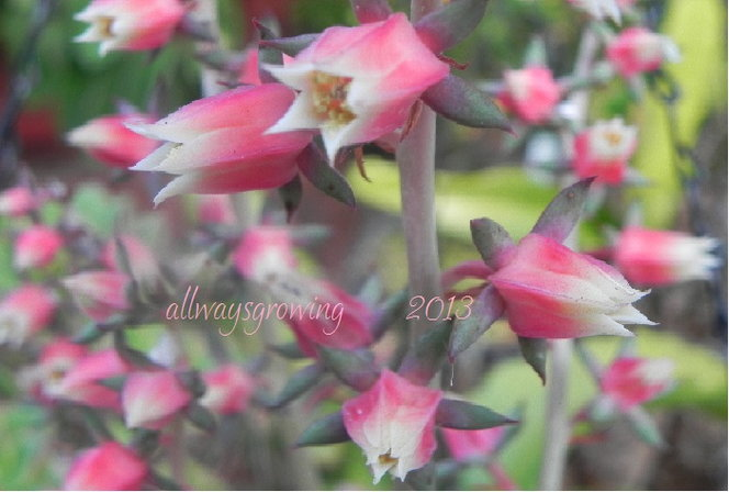Soft pink and white flowers of Echeveria nodulosa.