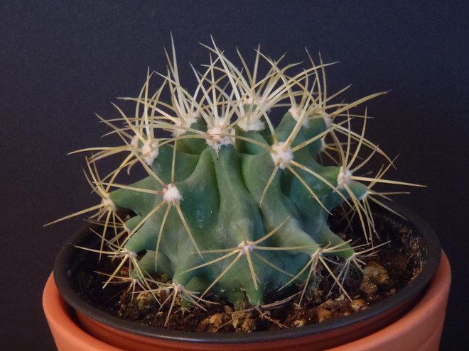 Ferocactus glaucescens (Blue Barrel Cactus) - 2016-07-29