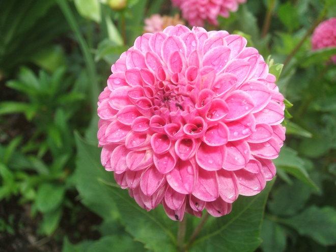Rebecca Lynn dahlia - a flower with my name!