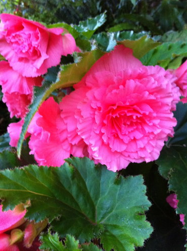 you take advantage of chilly Summer evenings to grow things like tuberous begonias!