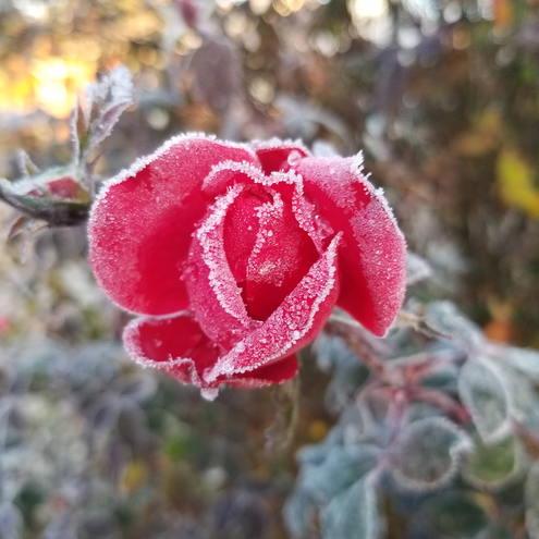My frozen rose !!!