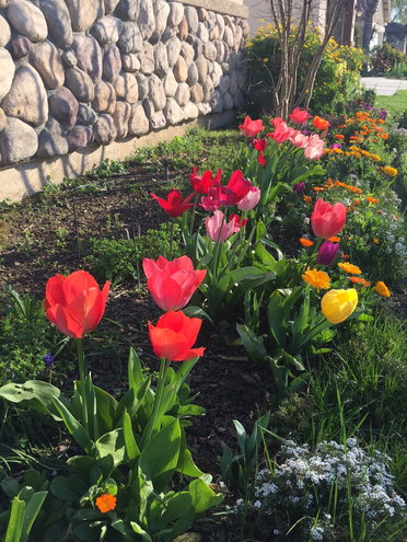 Mid-March tulips