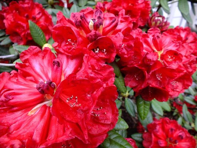 Rhododendron 'Rubicon'